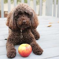 "Say ""Woof!"" to Lily, the Michigan Apple Spokespoodle!"