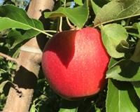 Celebrate Earth Day with Michigan Apples